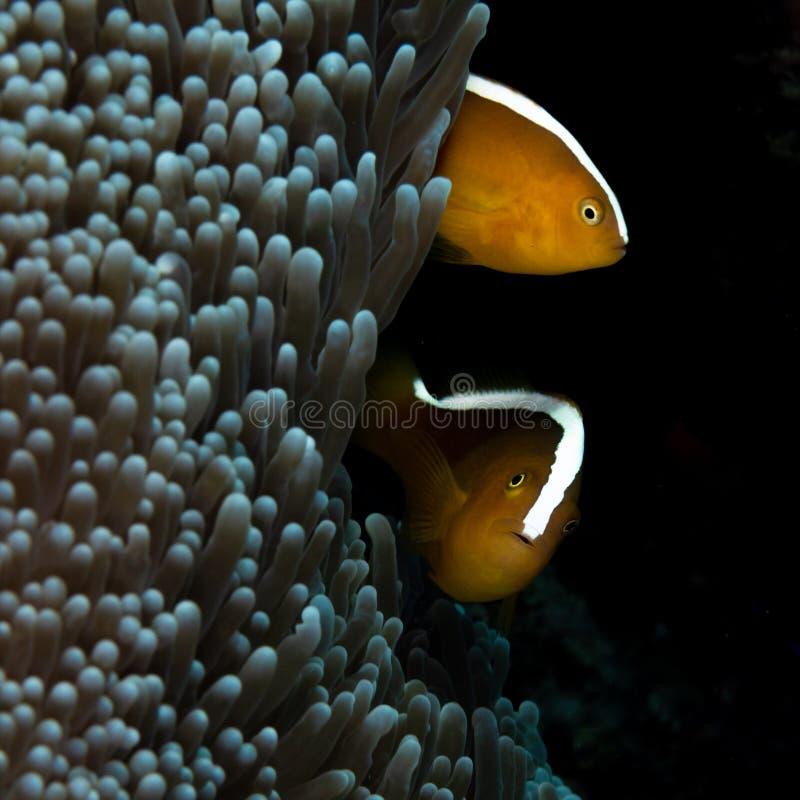 Oranje stinkdier clownfish, Amphiprion-sandaracinos Bangka, Indonesië stock fotografie