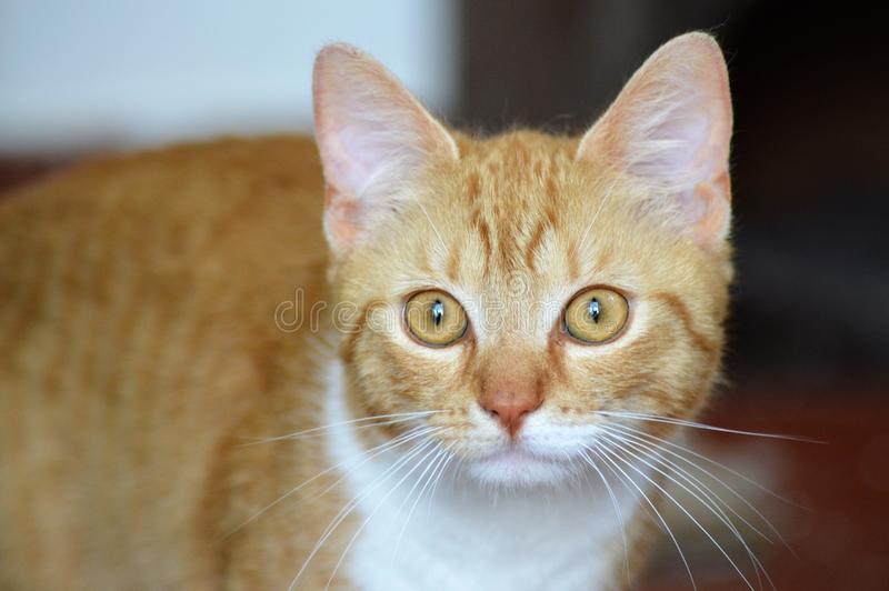 Oranje Tabby Cat Portrait stock fotografie