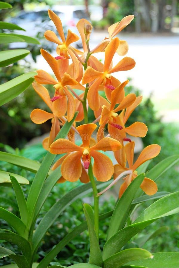 Oranje Thaise orchidee royalty-vrije stock foto