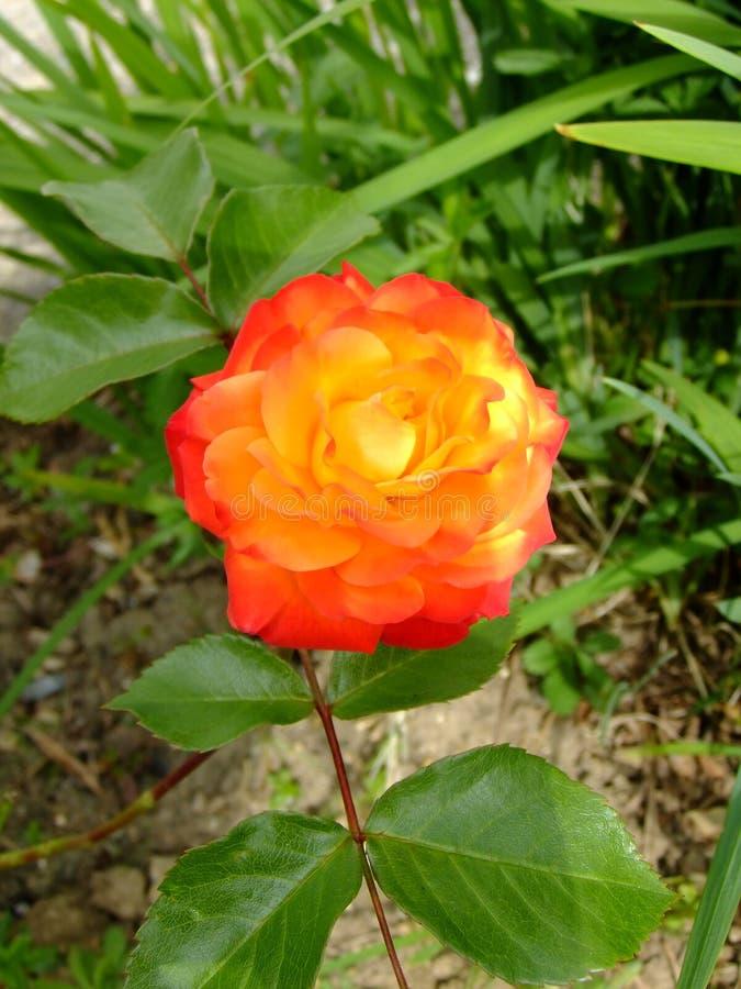 Oranje toon twee nam toe royalty-vrije stock foto