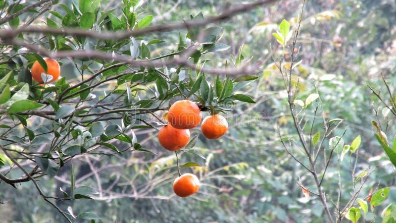 Oranje tuin bij sittong, royalty-vrije stock foto