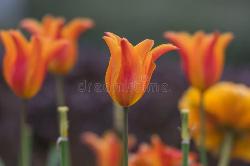 Oranje Tulip Stands Tall stock foto