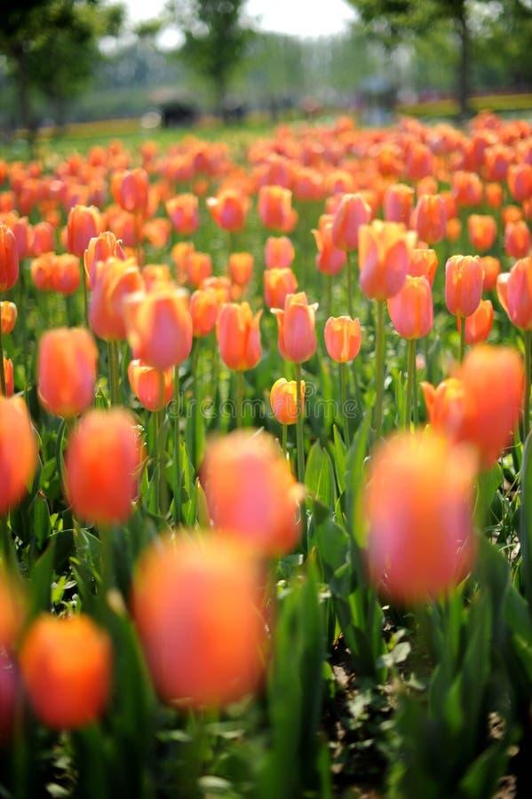 Oranje Tulpen stock afbeeldingen