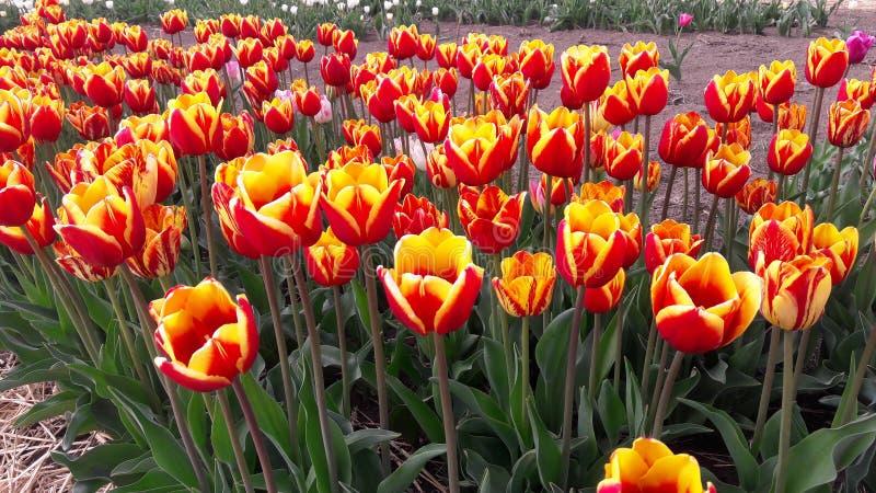 Oranje Tulpen stock fotografie