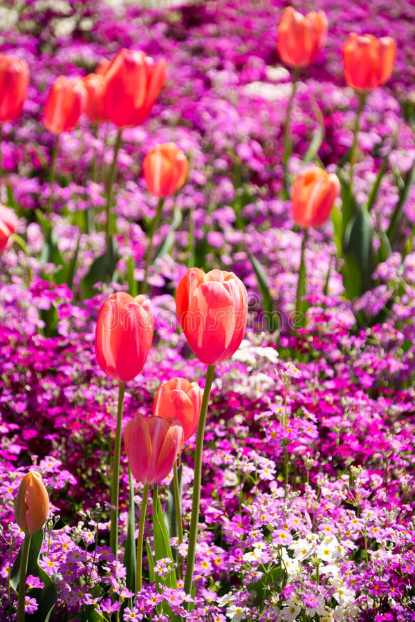 Oranje Tulpenportret stock fotografie