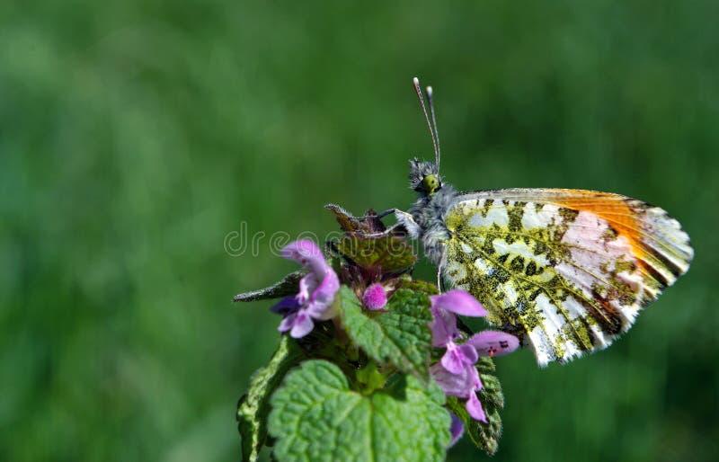 Oranje uiteindevlinder Vlinder op een zonnige weide De lentevlinders heldere transparante vleugels Exemplaarruimten royalty-vrije stock foto's