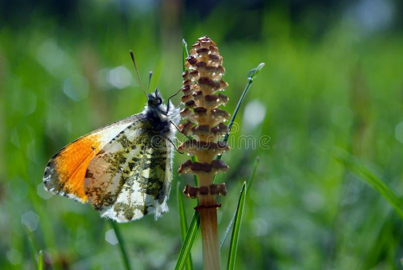Oranje uiteindevlinder Vlinder op een zonnige weide De lentevlinders heldere transparante vleugels Exemplaarruimten stock foto's