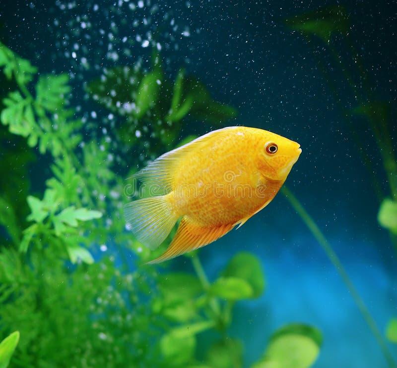 Oranje vissen onder de bellen in het aquarium Cichlasomaseverum, cichlid stock fotografie