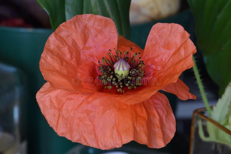 Oranje Vlaanderen Poppy Anthers stock fotografie