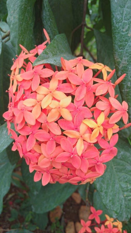 Oranje Vlam van de houtbloemen royalty-vrije stock afbeelding