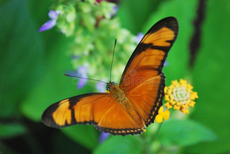 Oranje vlinder royalty-vrije stock afbeelding