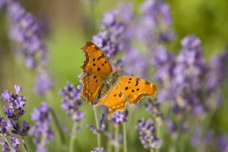 Oranje vlinder en lavendel stock afbeeldingen