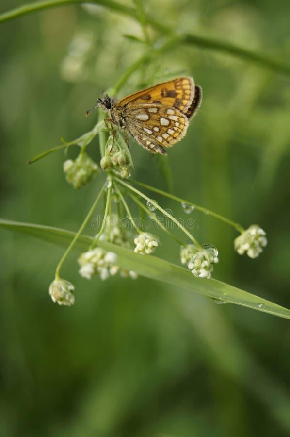 Oranje vlinder groene weide na de regen royalty-vrije stock afbeeldingen