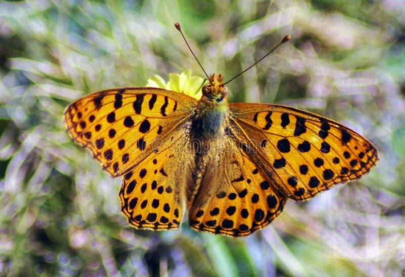 Oranje vlinder met zwarte vlek royalty-vrije stock foto's