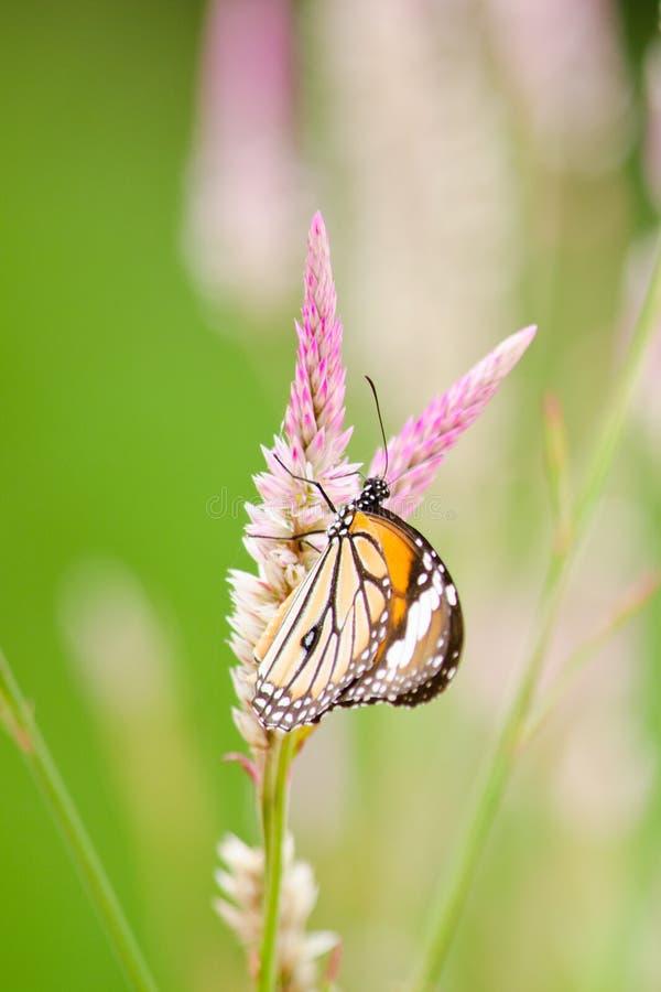 Oranje Vlinder op bloem stock foto's