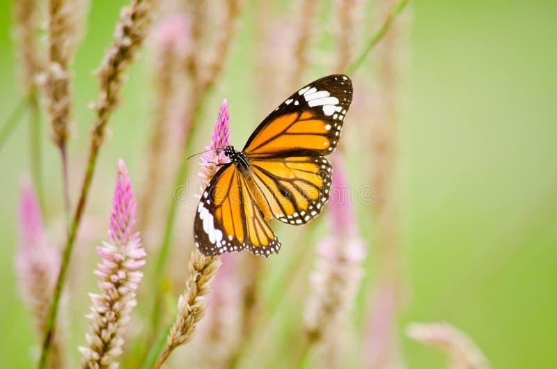 Oranje Vlinder op bloem stock afbeeldingen