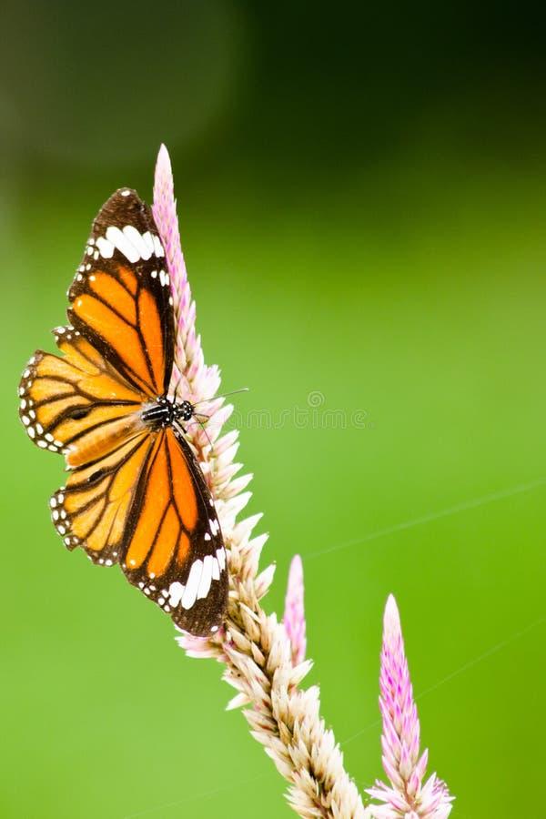 Oranje Vlinder op bloem royalty-vrije stock afbeelding