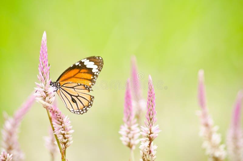 Oranje Vlinder op bloem stock foto