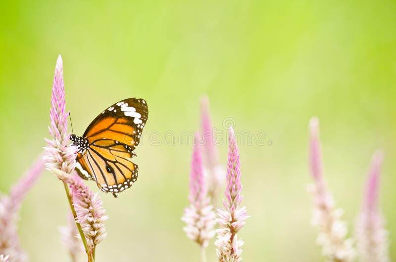 Oranje Vlinder op bloem stock afbeelding