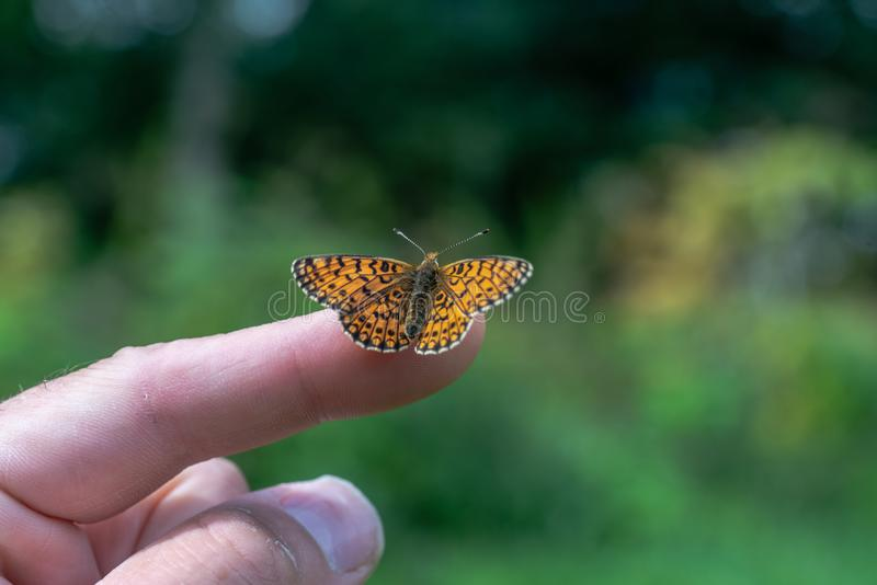 Oranje vlinder Parel-gegrenste Fritallary Het zitten op inde royalty-vrije stock fotografie