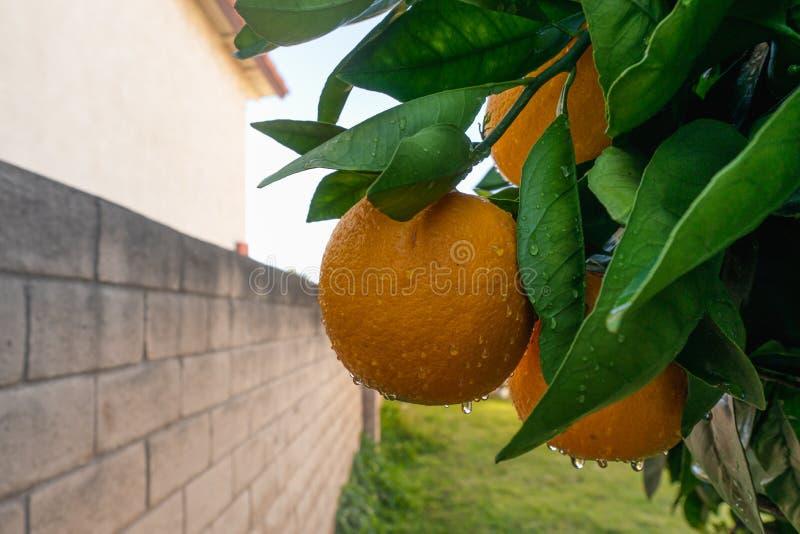 Oranje vruchten met dalingen van water op een tak van oranje boom royalty-vrije stock foto's