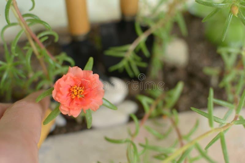 Oranje weinig bloem groene installaties in pot twee bladen royalty-vrije stock afbeeldingen