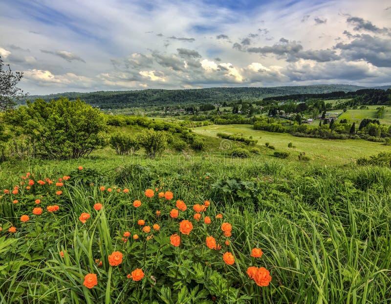 Oranje wilde asiaticus van bloementrollius op heuvel - de lente landelijk landschap royalty-vrije stock afbeelding