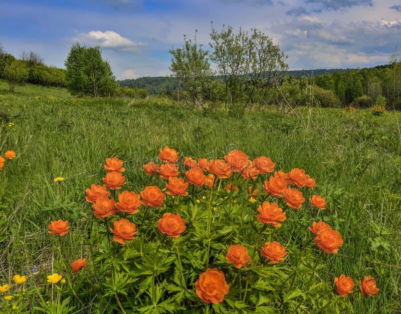 Oranje wilde asiaticus van bloementrollius op weide - de lente landelijk landschap royalty-vrije stock fotografie