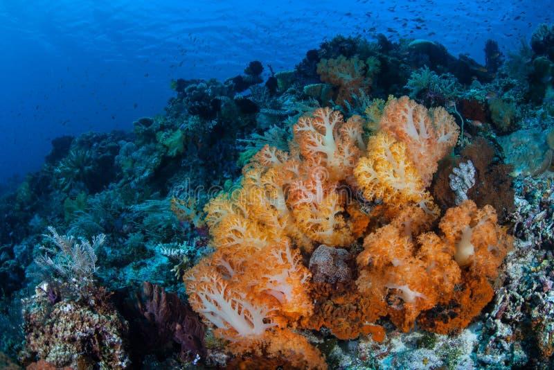 Oranje Zachte Koralen en Gezonde Ertsader in de Tropische Stille Oceaan royalty-vrije stock afbeelding