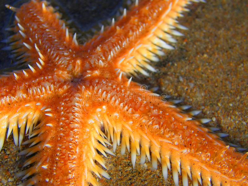 Oranje zeester royalty-vrije stock foto's
