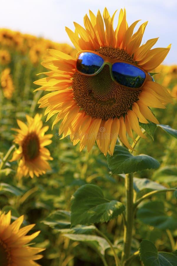 Oranje zonnebloem met een glimlach in gele zonnebril met blauwe glazen op een gebied van zonnebloemen stock afbeeldingen
