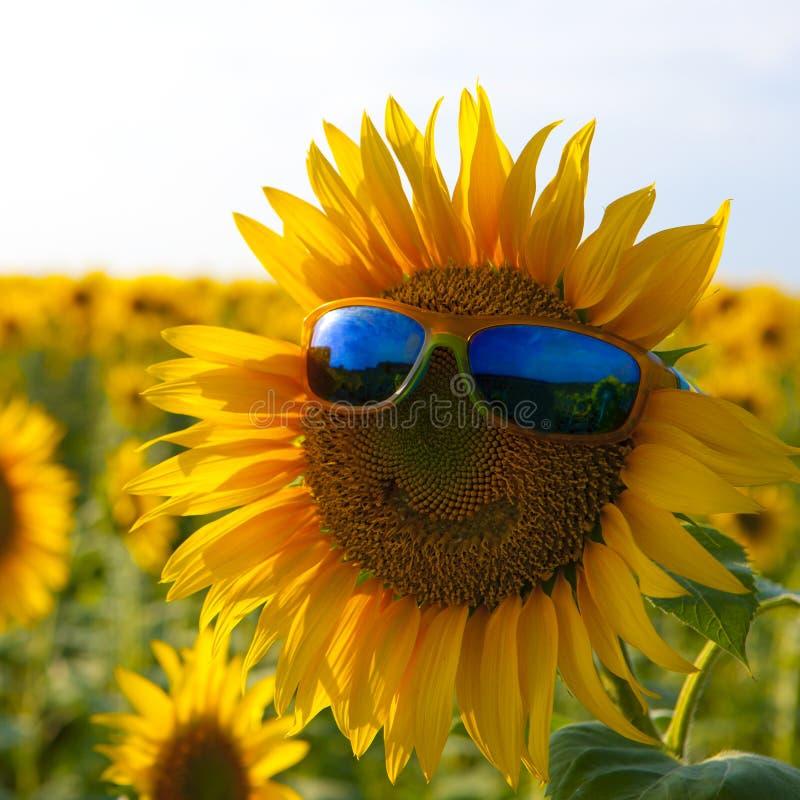 Oranje zonnebloem met een glimlach in gele zonnebril met blauwe glazen op een gebied van zonnebloemen stock foto's