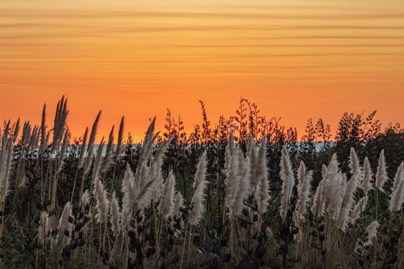 Oranje zonsondergang tegen de witte pluimen van het toetoegras royalty-vrije stock foto