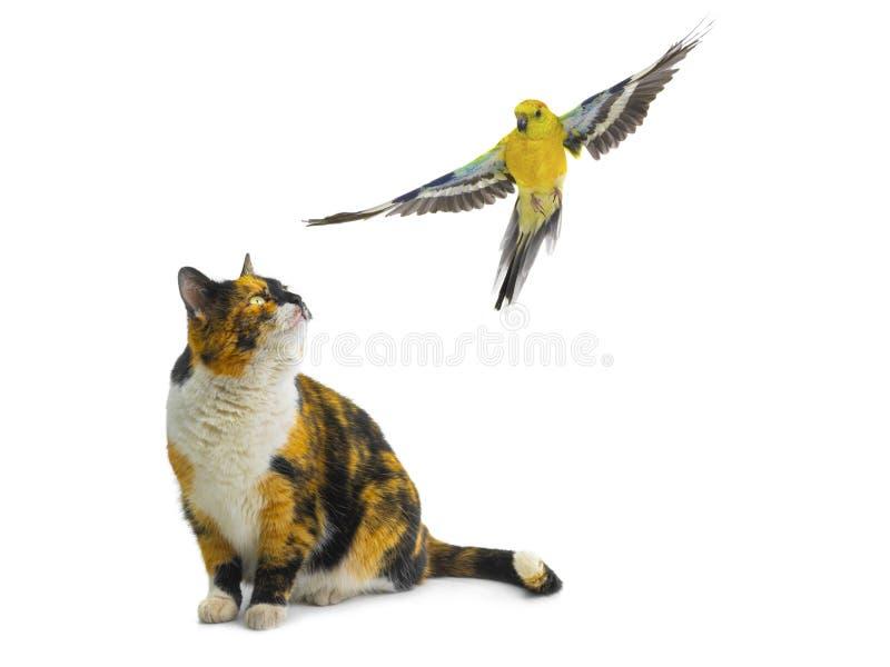 Oranje zwarte witte kat die een papegaai bekijken stock afbeelding