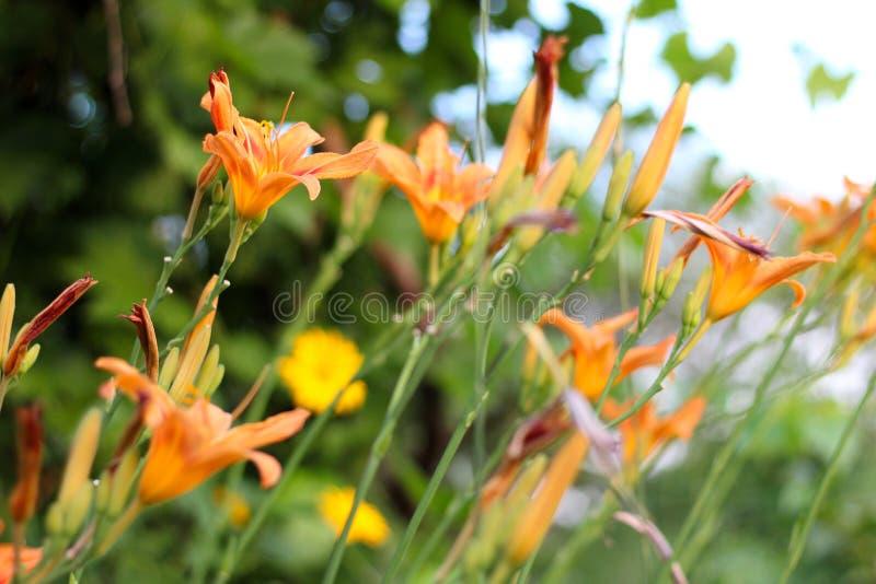 Oranjegele lelies op een groene vage achtergrond Mooie bloeiende bloemen dicht omhoog op de Zonsondergang stock fotografie