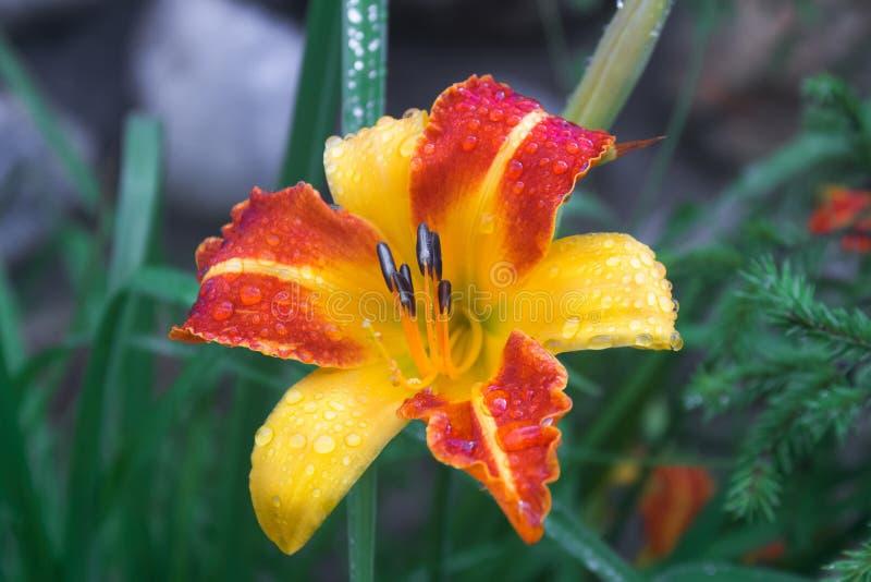 Oranjegele Lily Flower met regendalingen royalty-vrije stock afbeeldingen