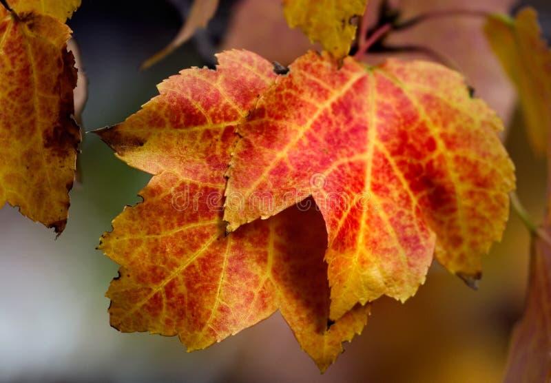 Oranjerode esdoornbladeren stock foto's