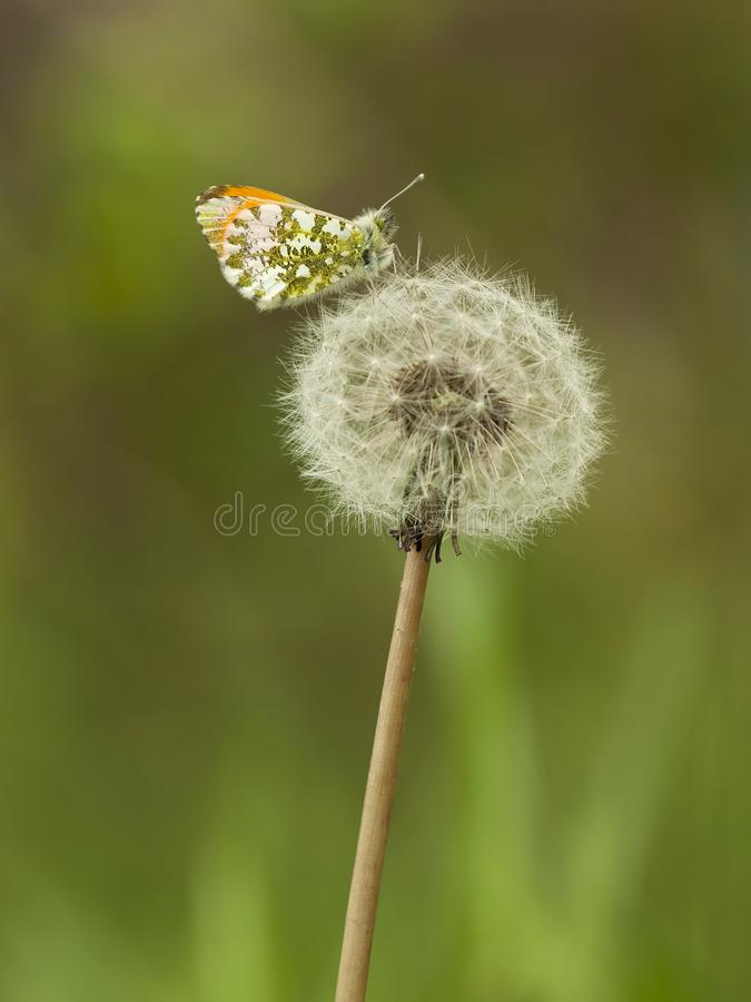 Oranjetipje, Orange Tip, Anthocharis cardamines. Mannetje Oranjetipje op een uitgebloeide Paardenbloem / Male Orange Tip on a Dandelion clock (Anthocharis stock photo