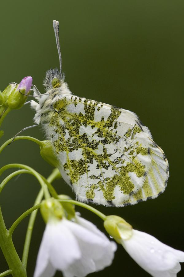 Oranjetipje, Orange Tip, Anthocharis cardamines. Oranje tipje / Orange Tip (Anthocharis cardamines stock photo