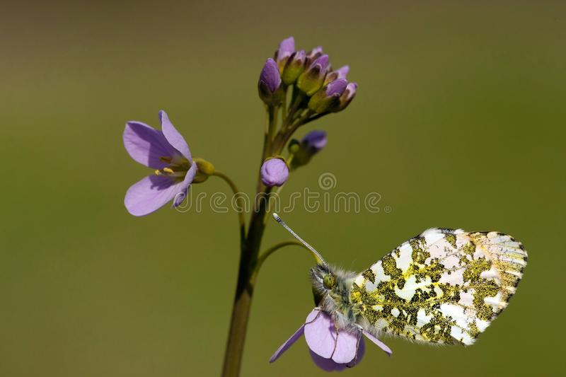 Oranjetipje, Orange Tip, Anthocharis cardamines. Oranje tipje / Orange Tip (Anthocharis cardamines royalty free stock image