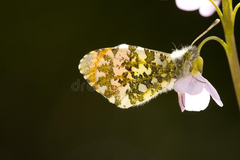 Oranjetipje, Orange Tip, Anthocharis cardamines. Oranje tipje / Orange Tip (Anthocharis cardamines royalty free stock photos