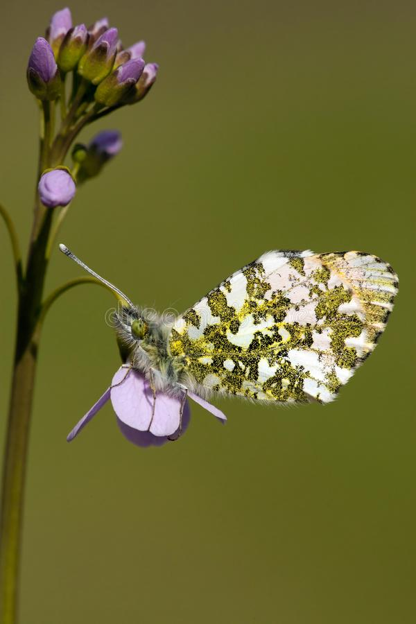 Oranjetipje, Orange Tip, Anthocharis cardamines. Oranje tipje / Orange Tip (Anthocharis cardamines stock photos