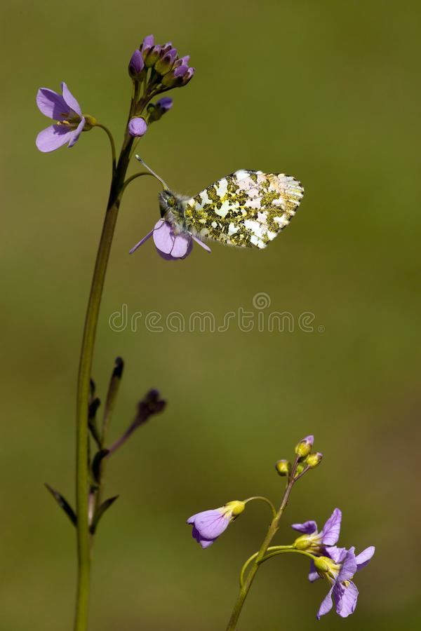 Oranjetipje, Orange Tip, Anthocharis cardamines. Oranje tipje / Orange Tip (Anthocharis cardamines royalty free stock photography