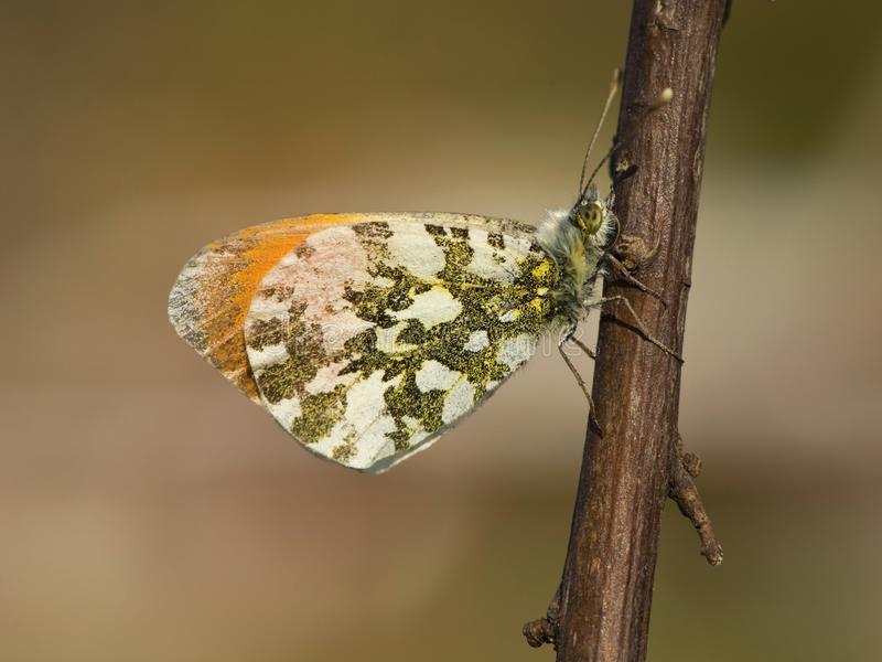 Oranjetipje, Orange Tip, Anthocharis cardamines. Oranje tipje / Orange Tip (Anthocharis cardamines stock image