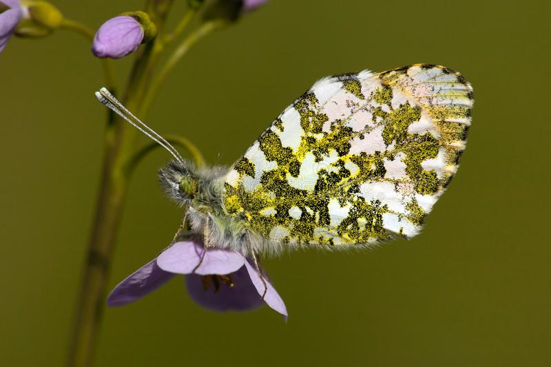 Oranjetipje, Orange Tip, Anthocharis cardamines. Oranje tipje / Orange Tip (Anthocharis cardamines stock images