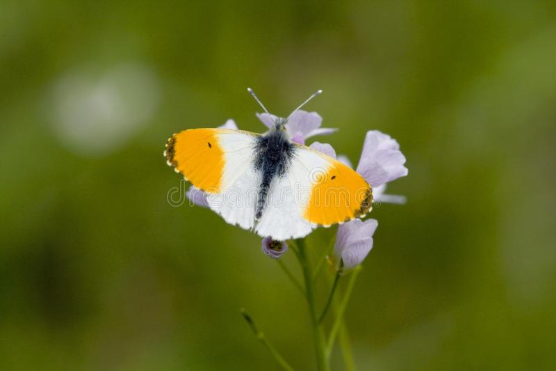 Oranjetipje, Orange Tip, Anthocharis cardamines. Oranje tipje / Orange Tip (Anthocharis cardamines royalty free stock photo