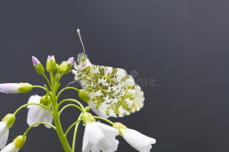 Oranjetipje, Orange Tip, Anthocharis cardamines. Oranje tipje / Orange Tip (Anthocharis cardamines stock photography