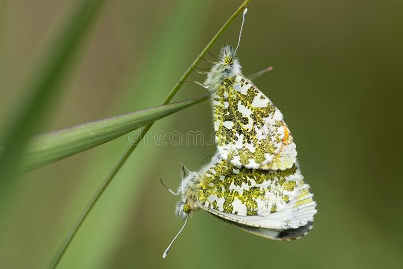 Oranjetipje, Orange Tip, Anthocharis cardamines. Parende Oranjetipjes, Mating Orange Tips (Anthocharis cardamines stock image