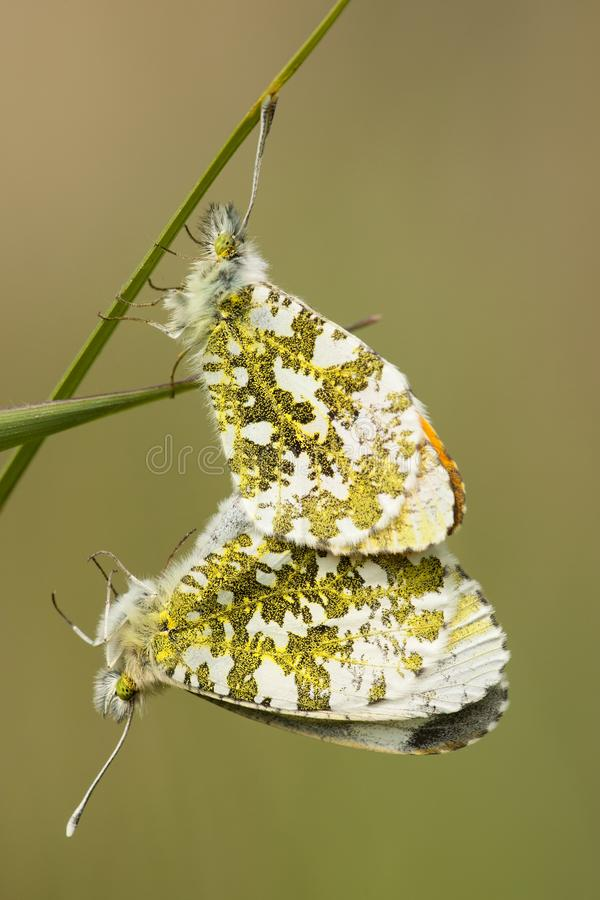 Oranjetipje, Orange Tip, Anthocharis cardamines. Parende Oranjetipjes, Mating Orange Tips (Anthocharis cardamines stock photography