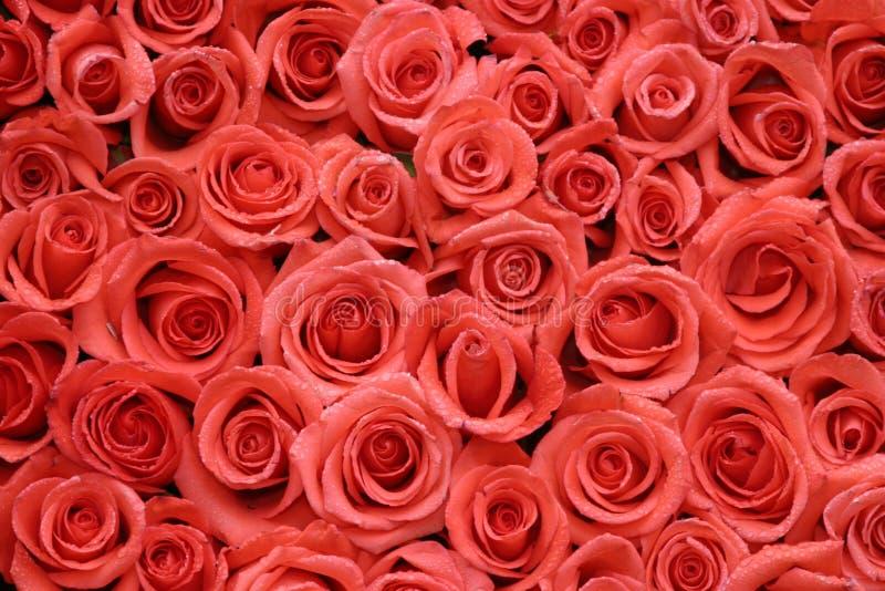 Oraqnge Rosen nebeneinander gepackt stockbilder